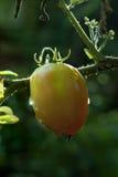Fruto do Vegetal-tomate amadurecido na planta Imagem de Stock
