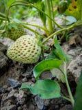 Fruto do verão da morango Fotos de Stock