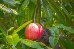 fruto do vermelho e da podridão Imagem de Stock Royalty Free
