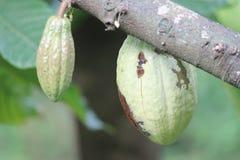 Fruto dos cocos Fotos de Stock Royalty Free
