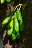 Fruto dos Kamias que adere-se a uma árvore em 3Sudeste Asiático Foto de Stock Royalty Free