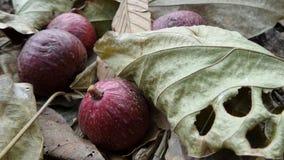 Fruto e folhas do figo do conjunto em Tailândia Imagens de Stock
