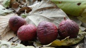 Fruto e folhas do figo do conjunto em Tailândia Fotografia de Stock Royalty Free