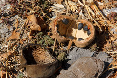 Fruto e sementes de árvore do Baobab caídos na terra Imagem de Stock Royalty Free
