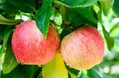 Fruto fresco na exploração agrícola imagens de stock royalty free