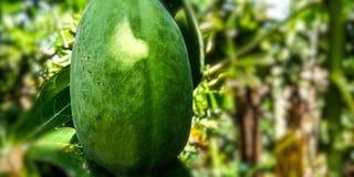 Fruto imaturo da papaia fotografia de stock