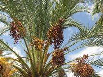 Fruto maduro da data Foto de Stock
