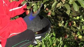 Fruto maduro da maçã do recolhimento da mão da mulher na cubeta no jardim 4K vídeos de arquivo