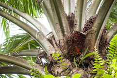 Fruto maduro da palma de óleo Foto de Stock
