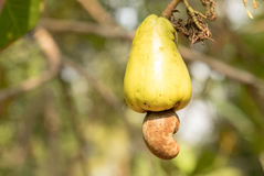 Fruto maduro do caju em uma árvore Imagens de Stock Royalty Free