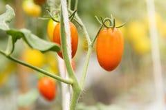 Fruto maduro pequeno vermelho dos tomates de cereja Plantas de tomates, natura maduro Foto de Stock