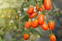 Fruto maduro pequeno vermelho dos tomates de cereja Plantas de tomates, natura maduro Imagem de Stock