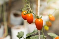 Fruto maduro pequeno vermelho dos tomates de cereja Plantas de tomates, natura maduro Foto de Stock Royalty Free