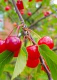 Fruto maduro vermelho da cereja em um ramo de árvore com folhas verdes fotografia de stock