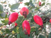 Fruto medicinal de rosas selvagens imagem de stock royalty free