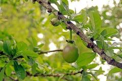 Fruto na árvore Imagem de Stock