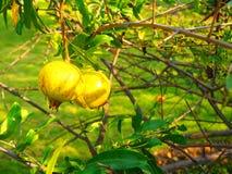 Fruto novo da romã no ramo de árvore Foto de Stock Royalty Free
