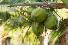 fruto novo verde do coco Fotos de Stock Royalty Free