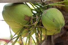 fruto novo verde do coco Imagem de Stock