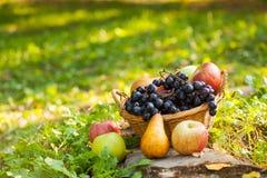 Fruto orgânico na cesta na grama do outono Fotografia de Stock