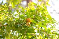 Fruto pequeno da romã entre as folhas Foto de Stock Royalty Free