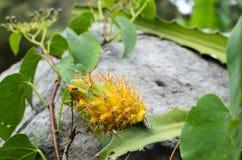 Fruto selvagem amarelo do dragão ainda coberto com os pontos imagens de stock royalty free