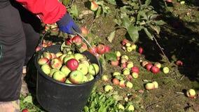 Fruto suculento da maçã do recolhimento da mão do trabalhador na cubeta na plantação 4K video estoque