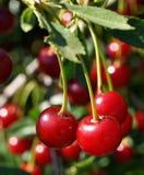 Fruto suculento e maduro das cerejas que penduram em um ramo de árvore em um dia de verão ensolarado Foto de Stock