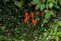 Fruto venenoso de Arum Lily Plant em Adlington Hall Gardens em Cheshire imagem de stock royalty free