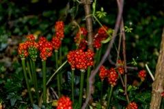 Fruto venenoso de Arum Lily Plant em Adlington Hall Gardens em Cheshire fotos de stock royalty free