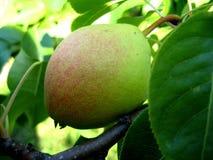 Fruto verde-amarelo da pera Foto de Stock Royalty Free