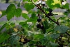 fruto verde da framboesa nos arbustos bagas crescentes fotografia de stock royalty free
