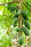 Fruto verde da papaia imagem de stock