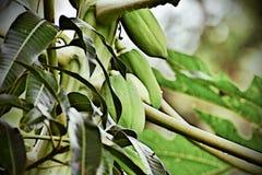 Fruto verde da papaia com algumas gotas de água Fotografia de Stock