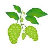Fruto verde de Noni ou de Morinda Citrifolia em uma árvore Imagens de Stock