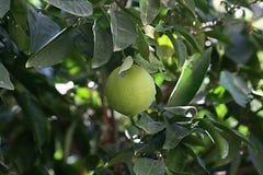 Fruto verde e amarelo do limão em uma árvore imagem de stock