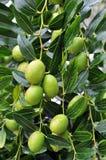 Fruto verde-oliva Imagens de Stock Royalty Free