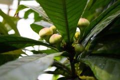 Fruto verde sob o sol imagem de stock royalty free
