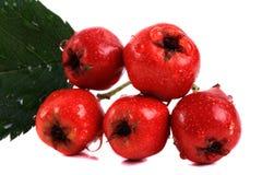 Fruto vermelho do espinho imagem de stock royalty free