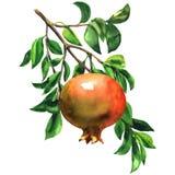 Fruto vermelho maduro da romã em um ramo com as folhas isoladas, ilustração da aquarela no branco ilustração do vetor