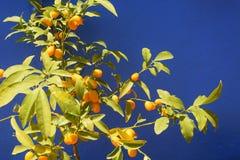 Frutos alaranjados maduros dos cumquats em uma planta Fotografia de Stock Royalty Free
