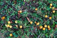 Frutos alaranjados pequenos maduros no prado Fotos de Stock Royalty Free
