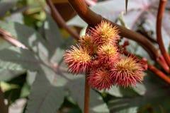 Frutos amarelos e vermelhos do Ricinus da planta de óleo de rícino Communis no fim do outono acima imagens de stock royalty free