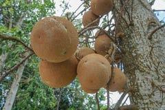 Frutos da árvore da bola de canhão foto de stock royalty free