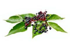 Frutos da baga de sabugueiro Imagem de Stock