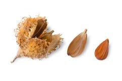 Frutos da faia europeus no fundo branco imagens de stock