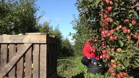 Frutos da maçã da picareta da mulher do trabalhador do aldeão fora dos ramos de árvore perto da caixa de madeira 4K vídeos de arquivo