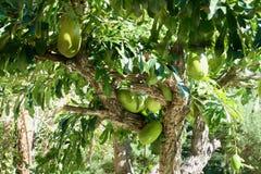 Frutos da manga em uma árvore de papaia Imagem de Stock