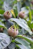 Frutos da nêspera Imagem de Stock Royalty Free