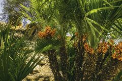 Frutos da palma do deserto Imagens de Stock Royalty Free